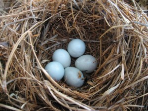 Unhatched Bluebird eggs collected from several nests
