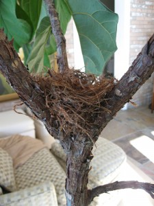 Nest in fork of our fiddle leaf fig tree